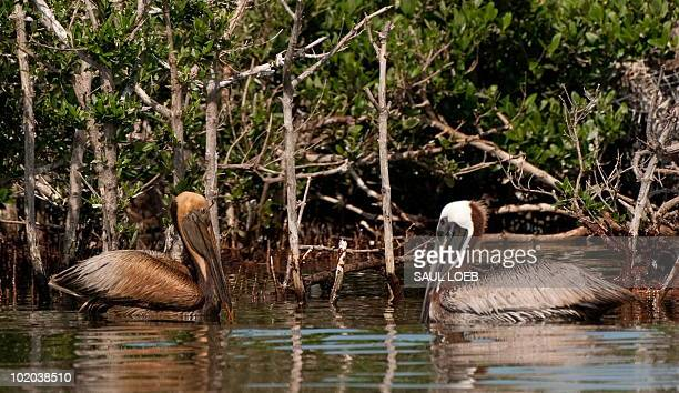 A brown pelican stained by oil from the BP Deepwater Horizon oil spill swims alongside a clean brown pelican at the Pelican Rookery next to Queen...