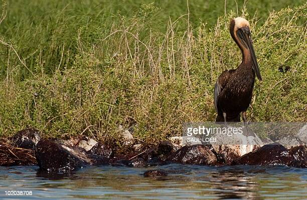 A brown pelican stained by oil from the BP Deepwater Horizon oil spill stands on oil soaked rocks at the Pelican Rookery next to Queen Bess Island in...