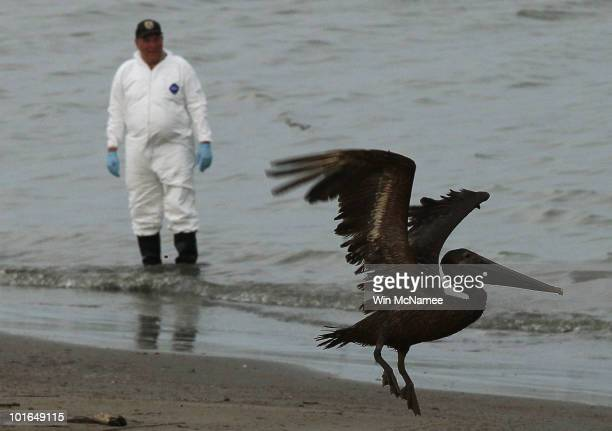 A brown pelican stained with oil takes flight while a bird rescue team tries to capture it for cleaning June 5 2010 in Grand Isle Louisiana Early...