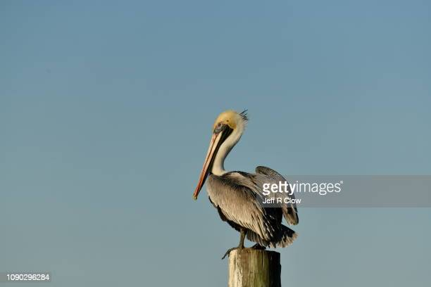 brown pelican standing on a pier pole - brown pelican stock photos and pictures
