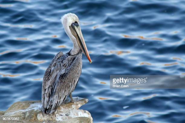A Brown Pelican (Pelecanus occidentalis) stands by the water on California Coast