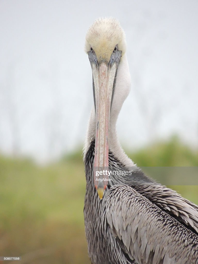 Brown Pelican staring at the camera : Stockfoto
