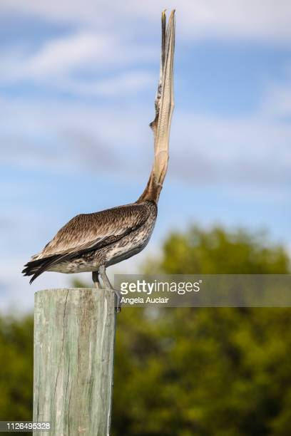 Brown Pelican Swallowing on Sanibel Island, Florida