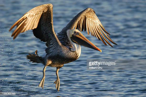 Brown pelican take off