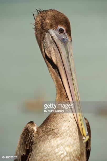 brown pelican (pelecanus occidentaliso), trinidad, trinidad & tobago - brown pelican stock photos and pictures