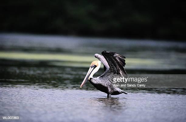 Brown pelican (Pelecanus occidentalis) wading in water