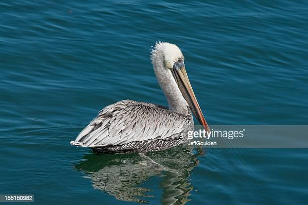 Brown Pelican With White Head Plumage