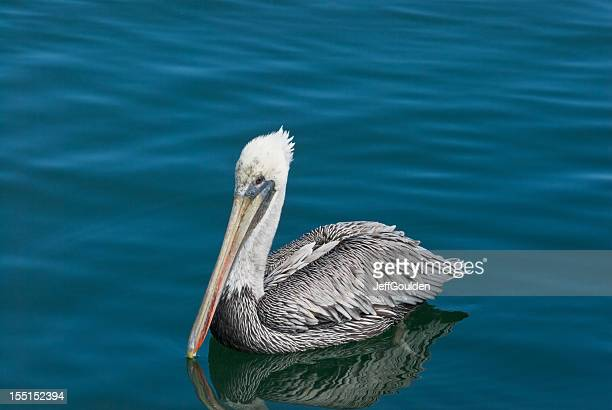 brown pelican with white head plumage - jeff goulden stock pictures, royalty-free photos & images