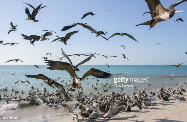 Brown Pelicans and Magnificent Frigatebirds; Costa Blanca Panama; copyright Timo Havimo