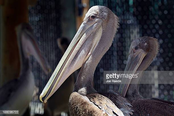 Brown Pelicans are seen at the Pelican Harbor Seabird Station as the center prepares to transfer the birds after they were rehabilitated from the oil...