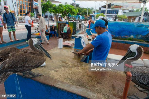 Brown pelicans are waiting for a handout from a fisherman at the fish market in Puerto Ayora on Santa Cruz Island in the Galapagos Islands Ecuador