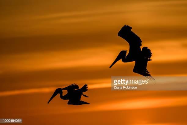 brown pelicans fishing at sunset at turner beach, captiva island - captiva island - fotografias e filmes do acervo