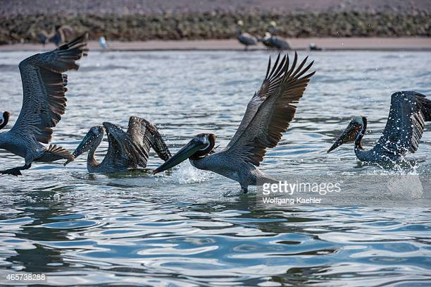 Brown pelicans fishing in the shallow waters in the bay of Aqua Verde a small fishing village near Loreto Sea of Cortez in Baja California Mexico