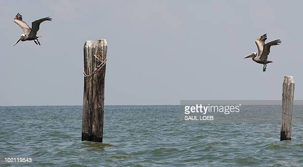 Brown pelicans fly at Empire Jetty in the Gulf of Mexico near Venice Louisiana June 15 as team of biologists from the US Fish and Wildlife Service...