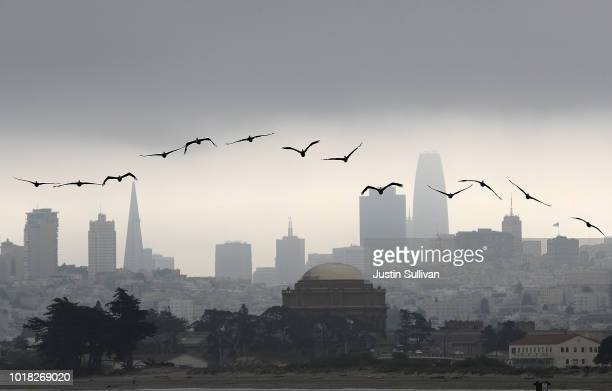 Brown pelicans fly in front of the San Francisco skyline on August 17 2018 in San Francisco California San Francisco will have highs in the 50s and...