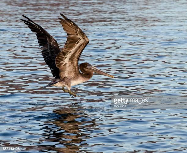 Brown Pelicans flying into the water of isla Angel de la Guarda Sea of Cortez Baja California Mexico