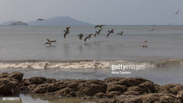 brown pelicans on the beach - alma danison stock photos and pictures