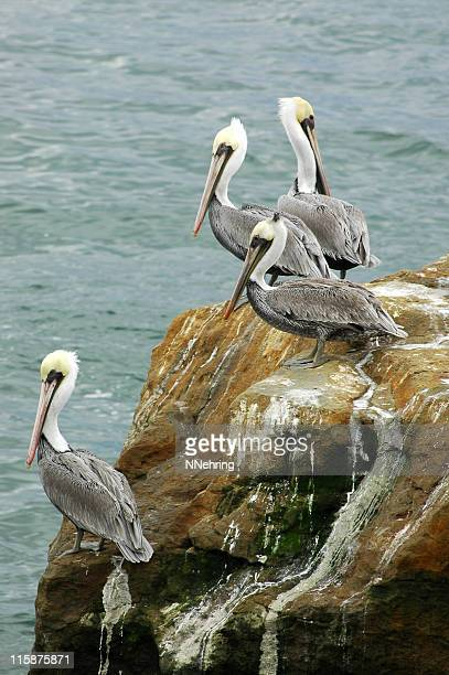 brown pelicans, Pelecanus occidentalis