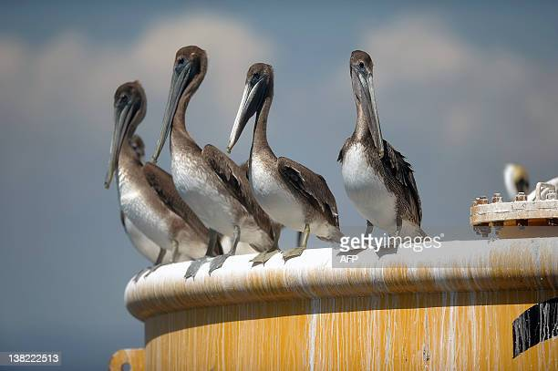 Brown Pelicans rest on a buoy in Los Cobanos beach 84 Km west from San Salvador on February 4 2012 AFP PHOTO/Jose CABEZAS