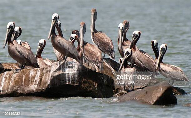 Brown pelicans some covered with oil from the BP Deepwater Horizon oil spill sit on the rocks at Empire Jetty in the Gulf of Mexico near Venice...