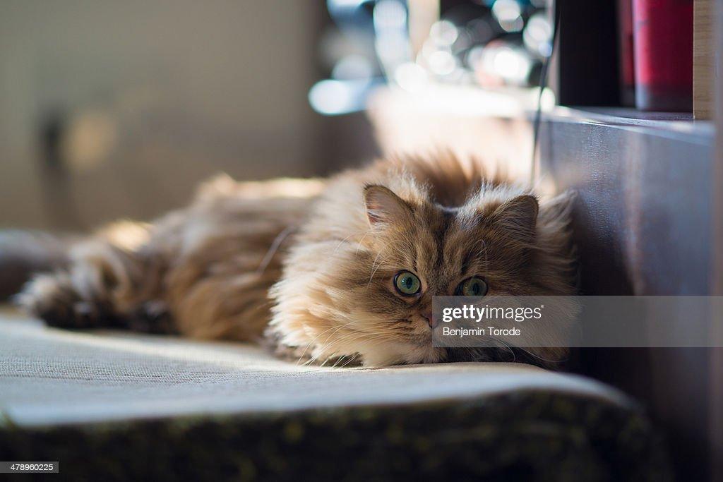 Brown persian cat relaxing on carpet : Stock Photo
