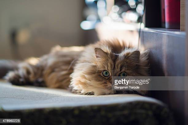 brown persian cat relaxing on carpet - persian stock photos and pictures