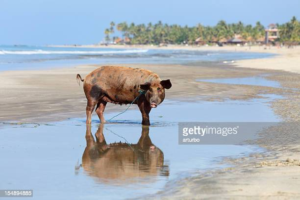 brown pig with reflection at the beach - ugly pig stock pictures, royalty-free photos & images