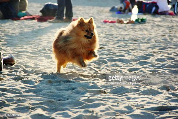 brown pomeranian dog running on sand at beach - pomeranian stock photos and pictures
