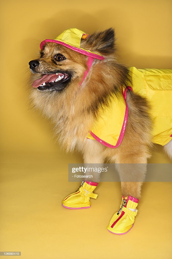 Brown Pomeranian dog wearing rain gear. : Stock Photo