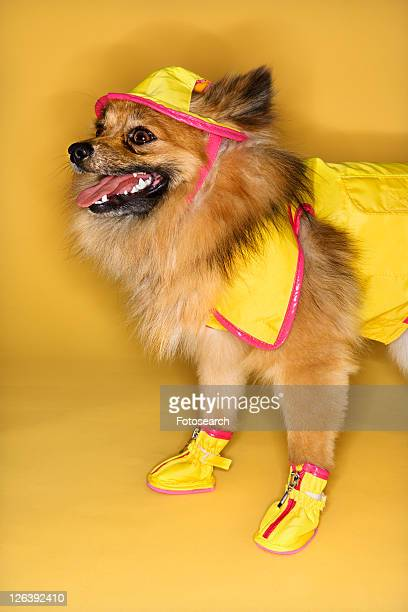 brown pomeranian dog wearing rain gear. - baby booties stock photos and pictures