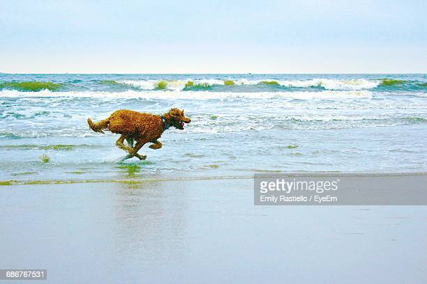 Brown Poodle Running On Shore At Beach