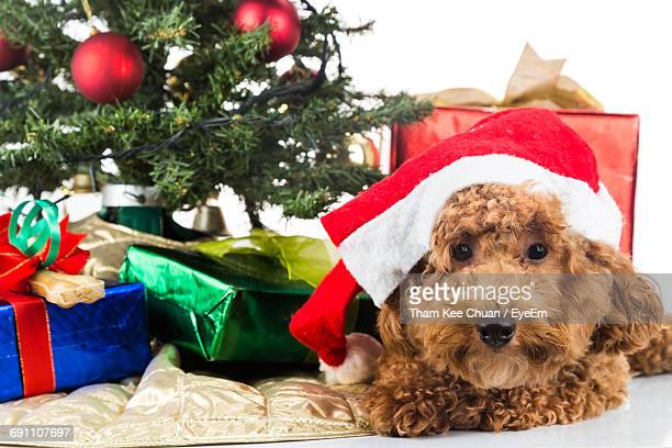 Brown Poodle Sitting By Gifts And Christmas Tree Against White Background