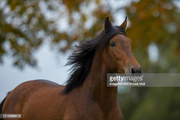 brown p.r.e. stallion in autumn, traventhal, germany - pre season bildbanksfoton och bilder