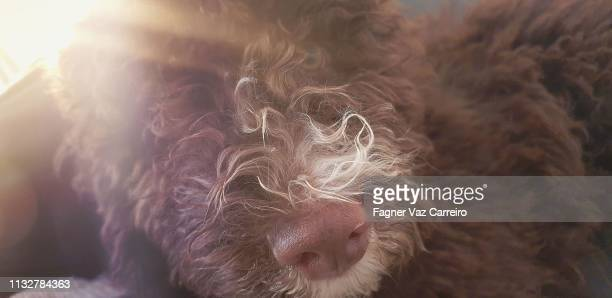 brown puppy dog face on the sun - cão stock pictures, royalty-free photos & images