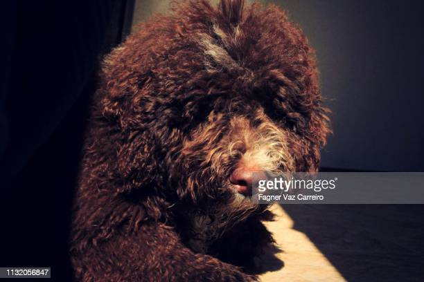 brown puppy on the sun - cão stock pictures, royalty-free photos & images