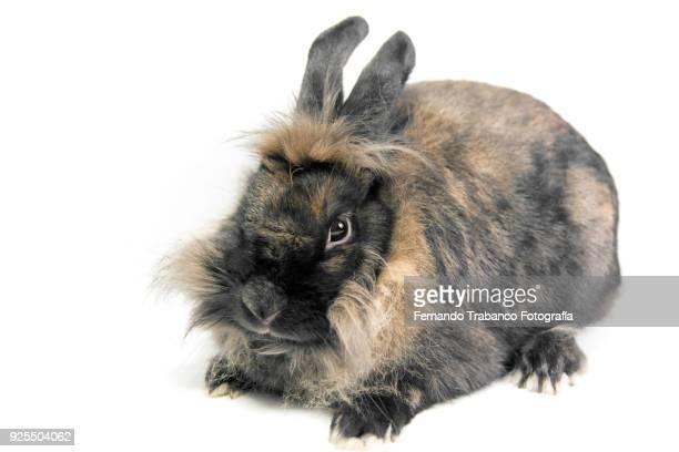 brown rabbit - enano fotografías e imágenes de stock