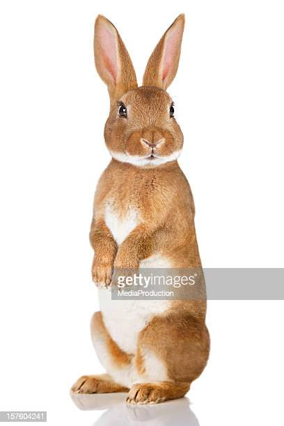 brown rabbit standing up - easter photos stock pictures, royalty-free photos & images