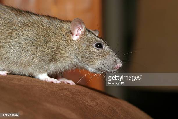 A brown rat crouching on a wooden surface