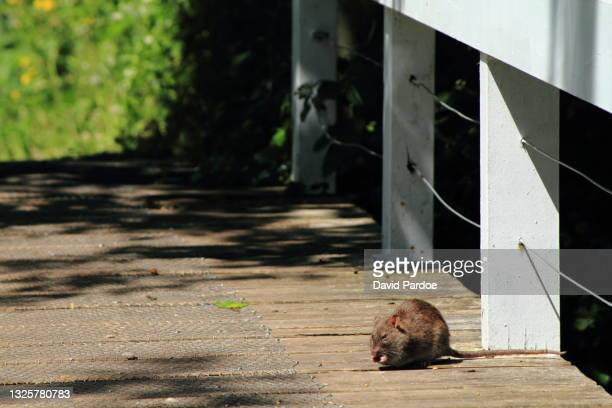 brown rat foraging on a footbridge - newport wales stock pictures, royalty-free photos & images