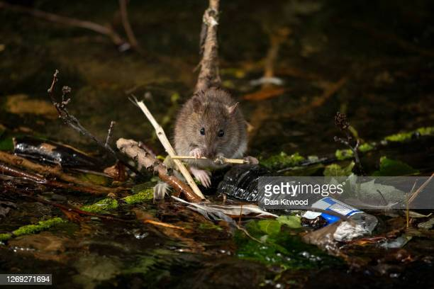Brown rat in the river Wandle near the rivers source at Carshalton Ponds, on August 24, 2020 in Carshalton, England. The river Wandle is a tributary...