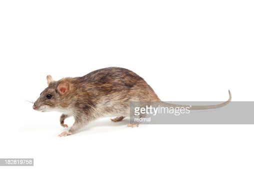 51 063 Rat Photos And Premium High Res Pictures Getty Images