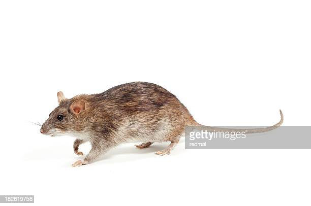 Marrón en rata
