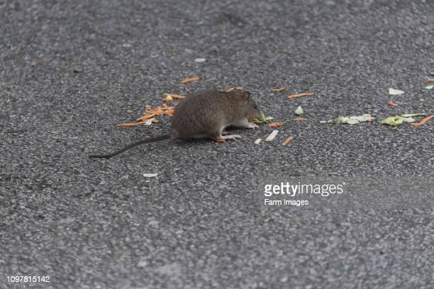 Brown Rat Rattus norvegicus eating scraps of food left in a fast food resturant car park Penrith Cumbria