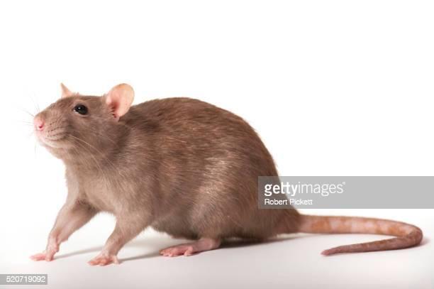brown rat, rattus norvegicus - ratazana imagens e fotografias de stock