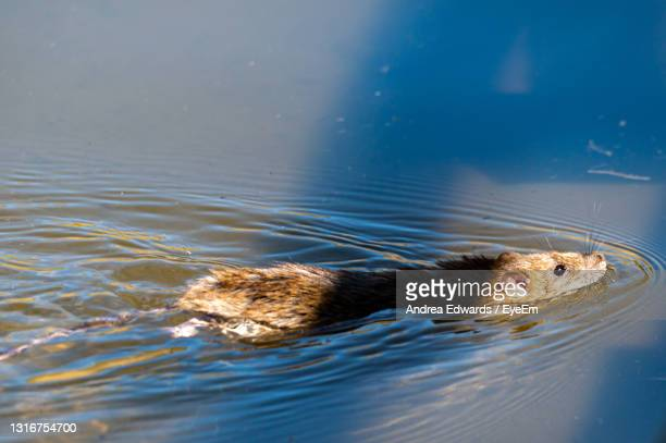 brown rat swimming - zoonotic diseases stock pictures, royalty-free photos & images