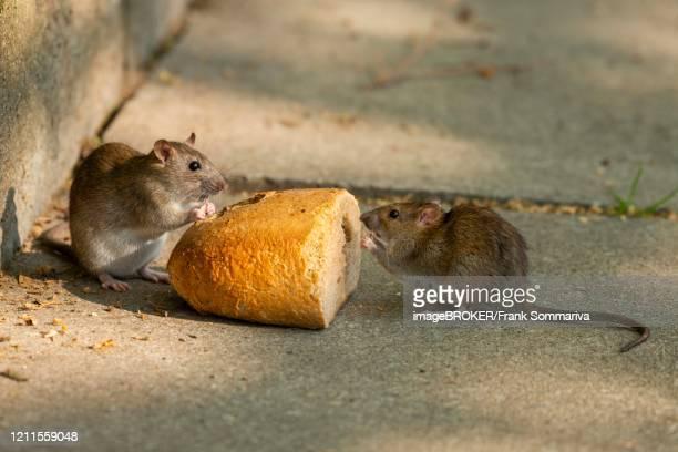 brown rats (rattus norvegicus) eating bread, thuringia, germany - ratazana imagens e fotografias de stock