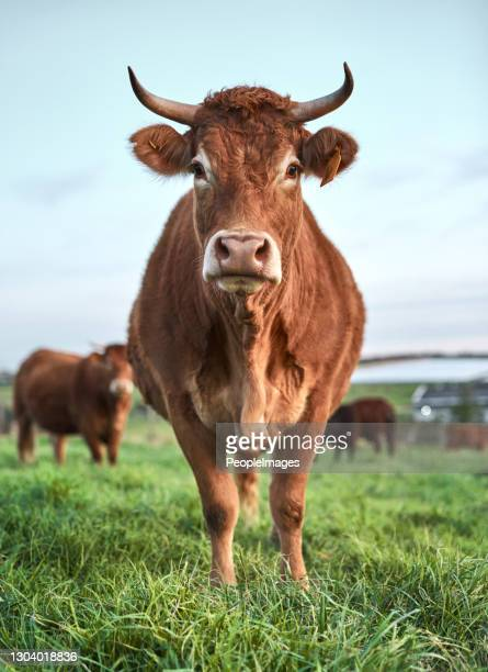 brown really brings out my eyes don't you think? - grazing stock pictures, royalty-free photos & images