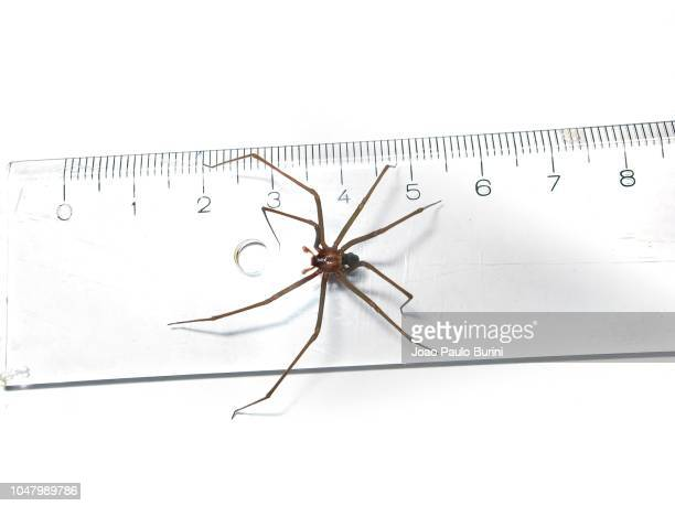 brown recluse (loxosceles) spider legspan size - brown recluse spider stock pictures, royalty-free photos & images