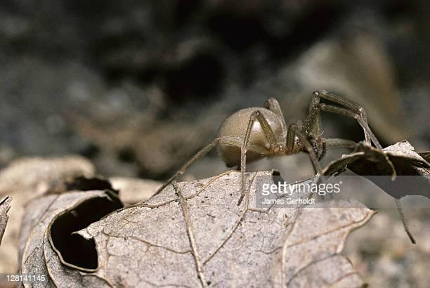 Brown Recluse Spider, Loxosceles reclusa, Arizona, USA