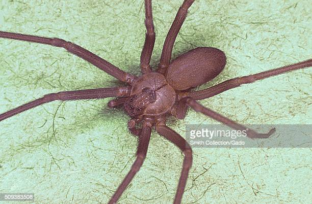 Brown recluse spider Loxosceles reclusa Characteristic violinshaped marking is visible on back Image courtesy CDC 1974